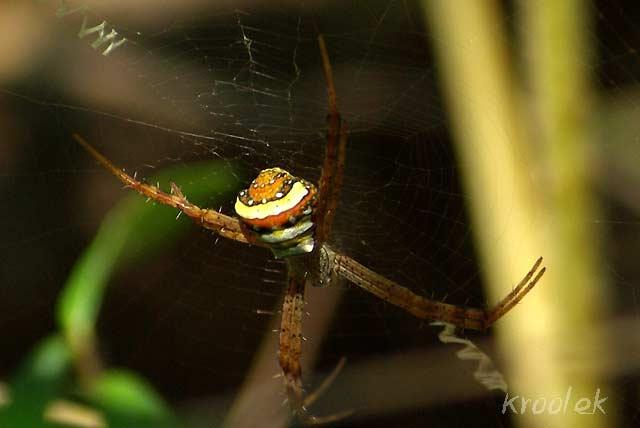 แมงมุมนุ่งซิ่นหลากสี Argiope versicolor รึเปล่าครับ