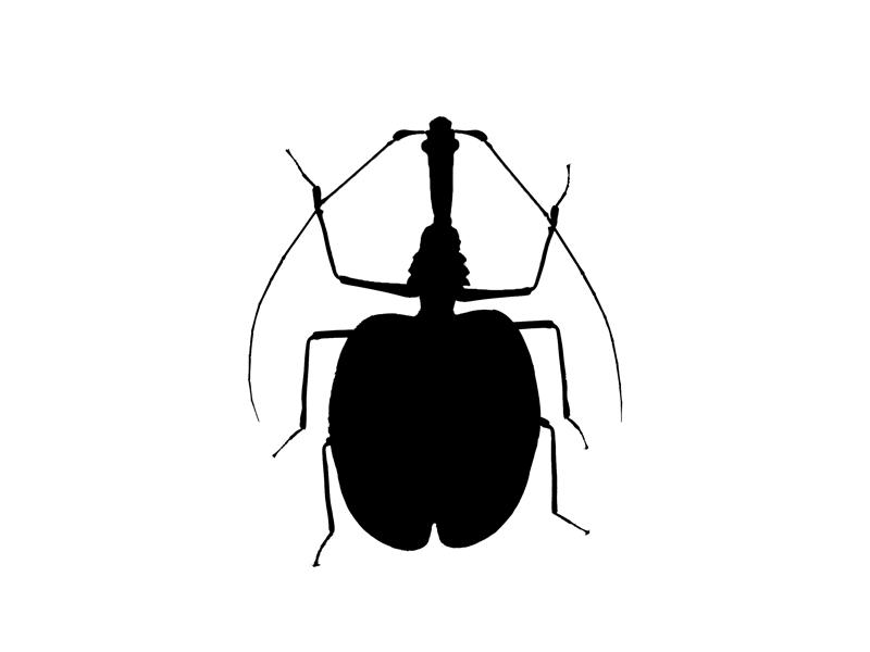 M.phyllodes