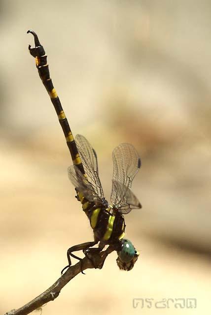 แมลงปอเสือผู้หางขอ