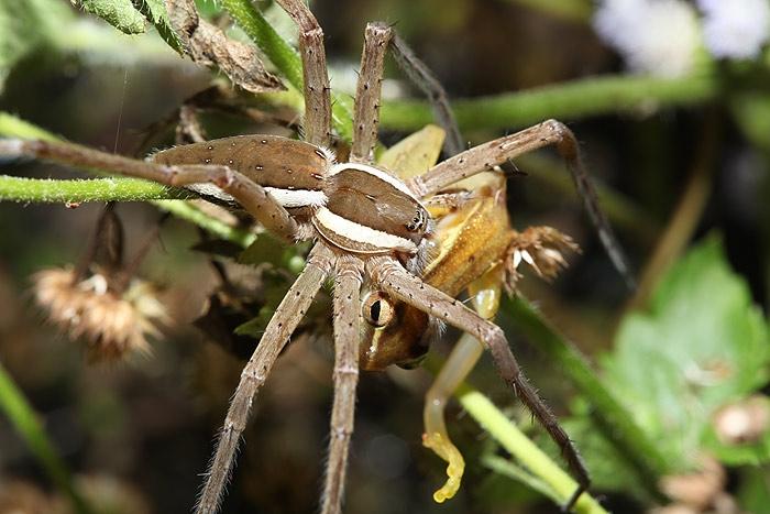 spider_frog1.jpg