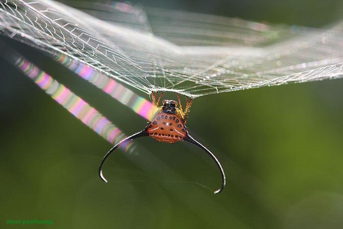 spider_horn.jpg