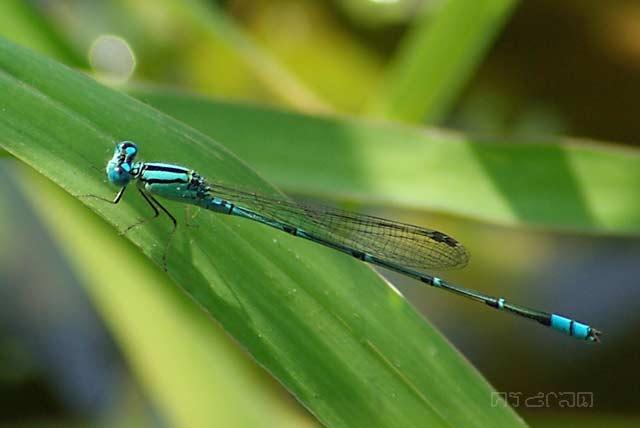 ตัวที่ 35 แมลงปอเข็มบ่อฟ้าเล็ก ตัวผู้  Pseudagrion microcephalum