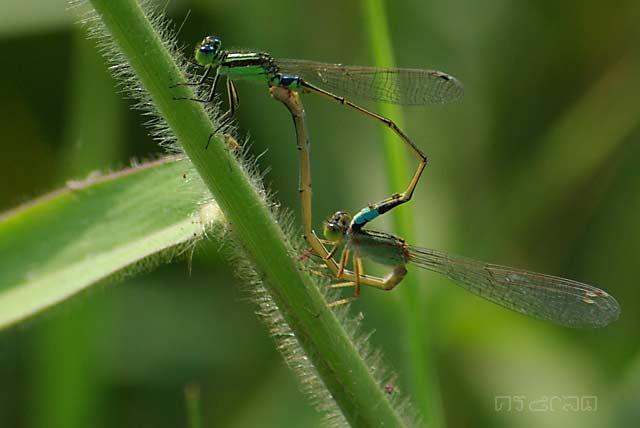 ตัวที่ 34 แมลงปอเข็มนาปลายฟ้า Ischnura senegalensis