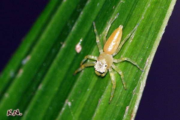 stagtillus_opaciceps.jpg