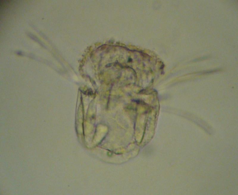 Polyarthra sp.