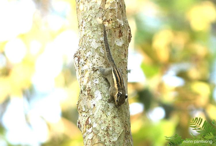 กระเล็น Tamiops mcclellandii
