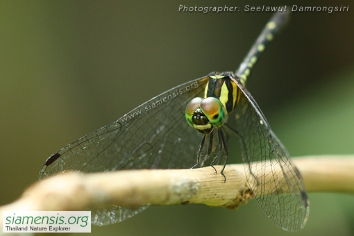 tetrathemis-platyptera-2.jpg