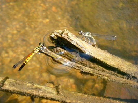 แมลงปอเข็มธาราลายเส้น Libellago lineata ผู้ เมีย กำลังวางไข่