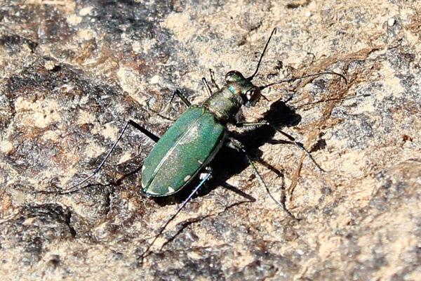 tiger-beetle-1.jpg