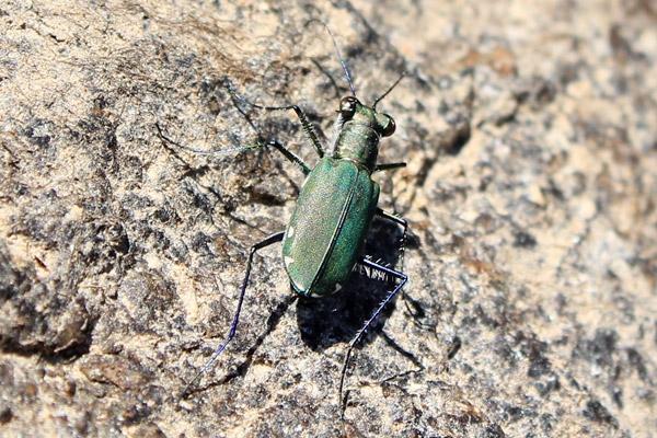 tiger-beetle-2.jpg