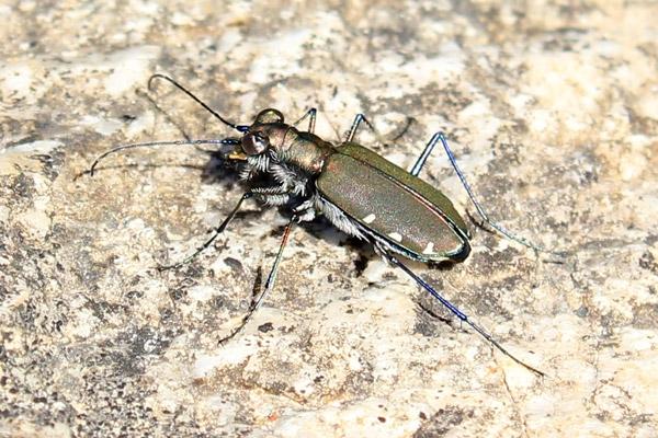 tiger-beetle-3.jpg