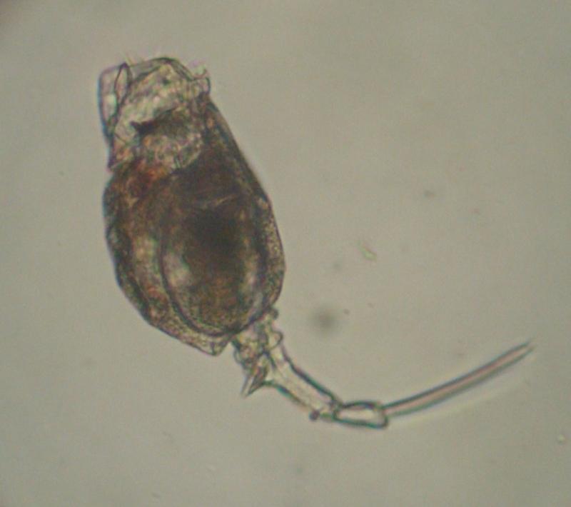 Trichotria sp. ด้านข้าง