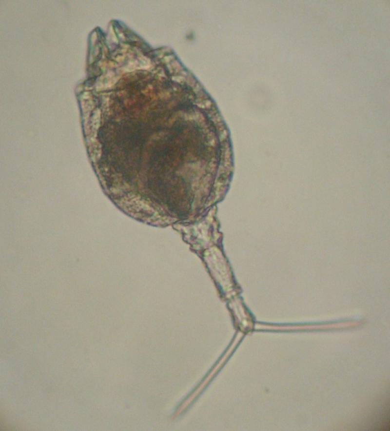 Trichotria sp.