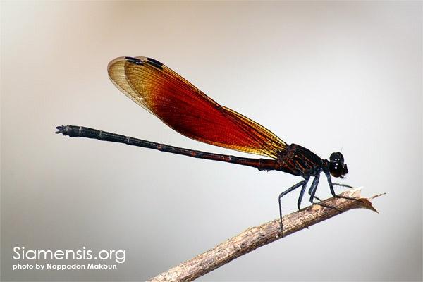 แมลงปอเข็มน้ำตกสีตาลแดง