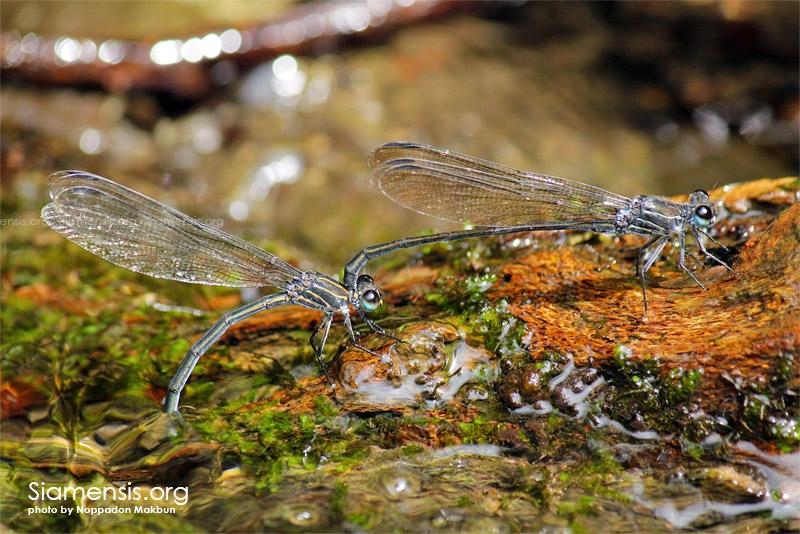 แมลงปอเข็มน้ำตกดอยปีกใส