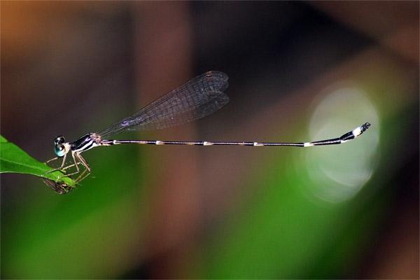 แมลงปอเข็มรำไรเขาสอยดาว