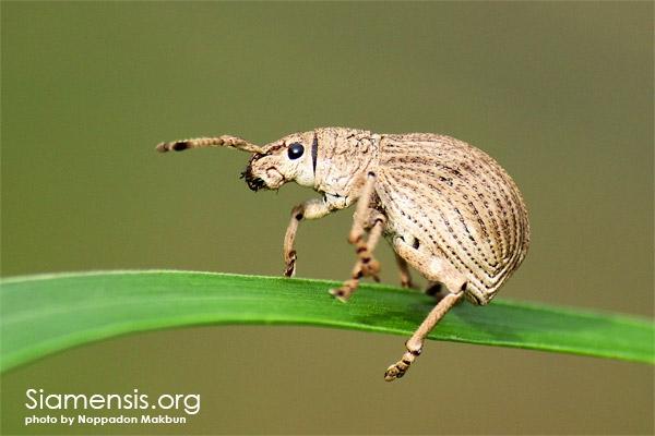 ด้วงงวง ในวงศ์ Curculionidae