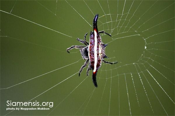 แมงมุมหลังหนามอะไรครับ