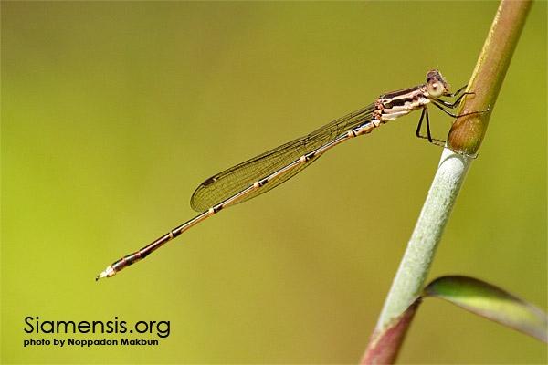 แมลงปอเข็มปีกตั้งพม่า