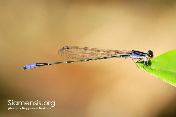 แมลงปอเข็มเรียวม่วง
