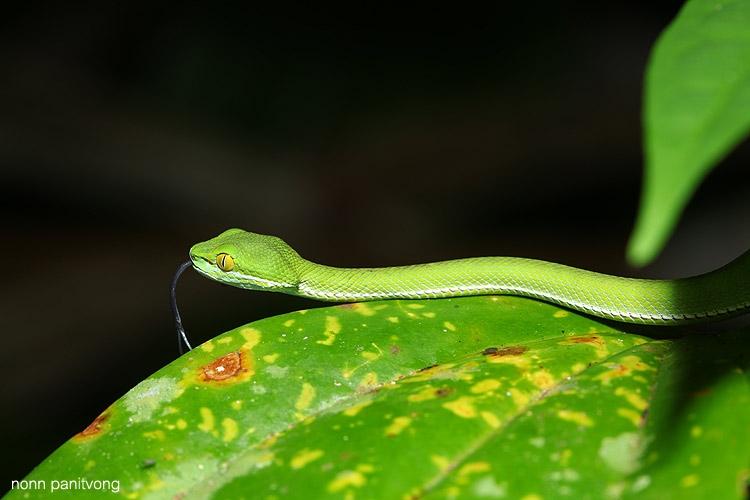 ลูกงูเขียวหางไหม้จันทบูรณ์  เจอเป็นสิบ