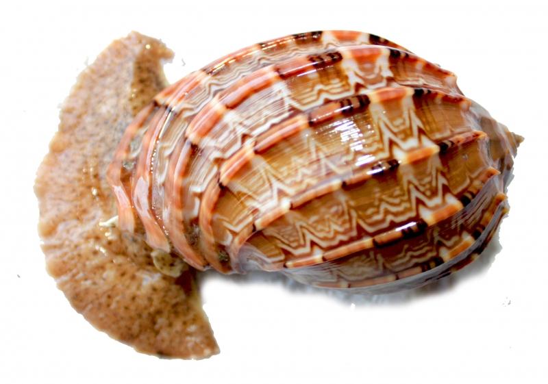 แถมหอยมะเฟืองอีกตัว
