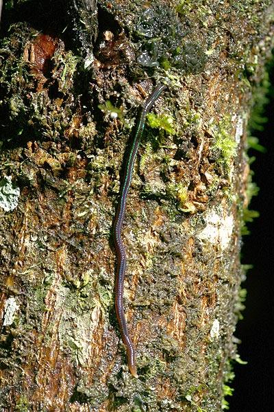 ถ่ายไข่ปาดอยู่ หันมาที่ต้นไม้ระดับสายตา เจอตัวนี้กำลังกระดึ๊บขึ้นต้นไม้ นายดิวบอกว่าไส้เดือน แต่...ไส้เดือนอะไรปีนต้นไม้?