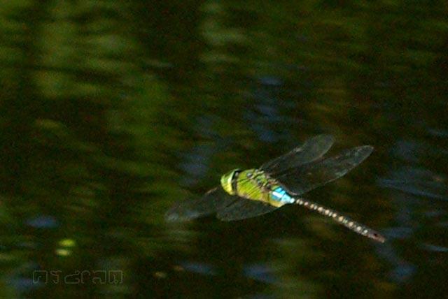 ตัวที่21 แมลงปอยักษ์เขียวธรรมดา Anax guttatus