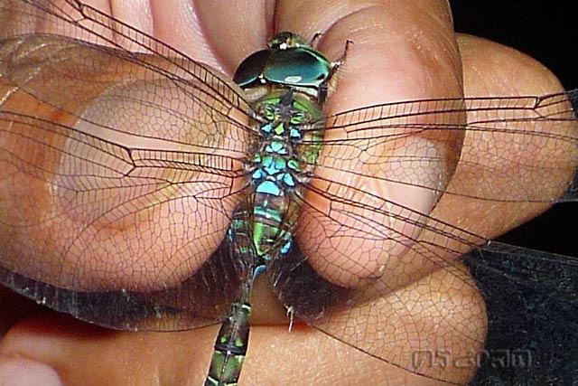 ตัวที่22 แมลงปอยักษ์รีทีก้านยาว Gynacantha subinterrupta