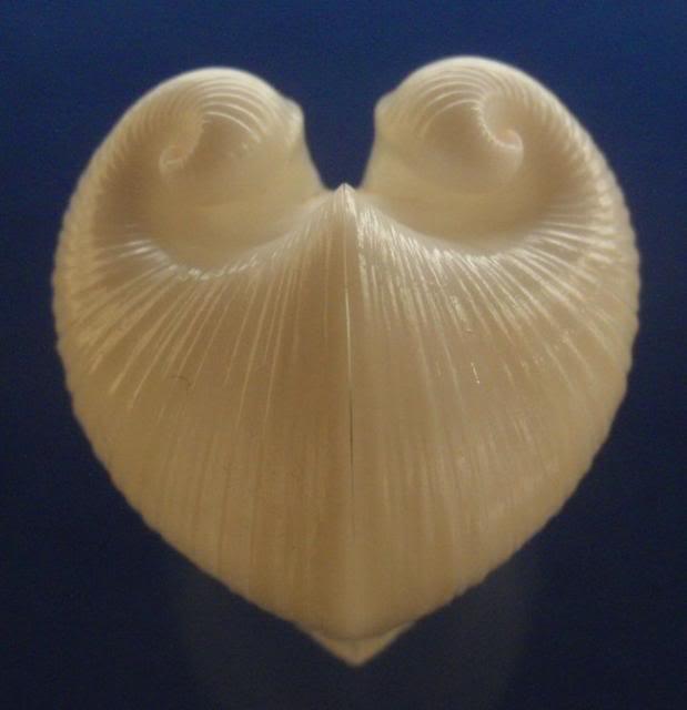 meiocardia_vulgaris.jpg