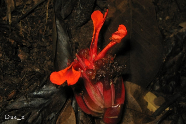 Etlingera sp. whole